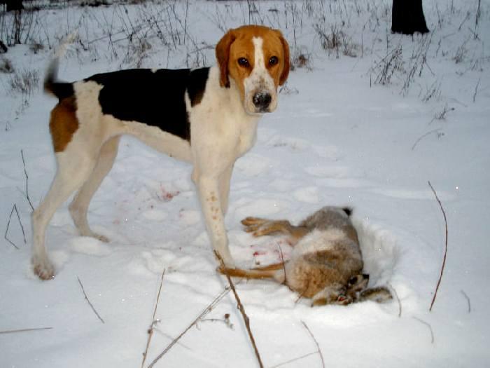 можете картинки пегих гончих собак большинстве