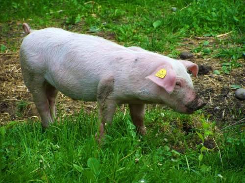 Половой член у свиньи 101