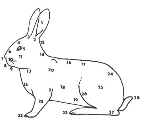 СТРОЕНИЕ ТЕЛА КРОЛИКА - Разведение и содержание кроликов - Животноводство