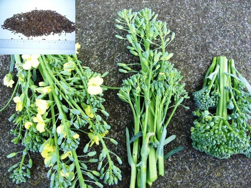 как получить семена капусты в домашних условиях видео