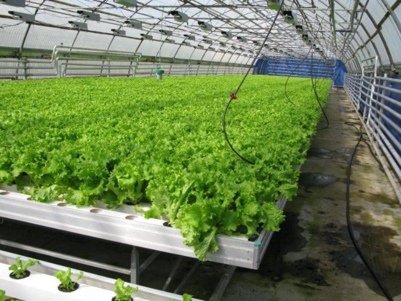 Выращивание в теплицах в зимний период 587