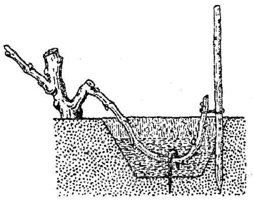 отводок винограда для пересадки