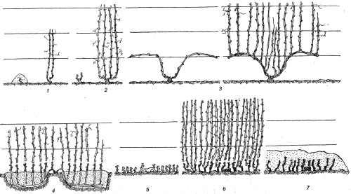 формирование маточных кустов винограда