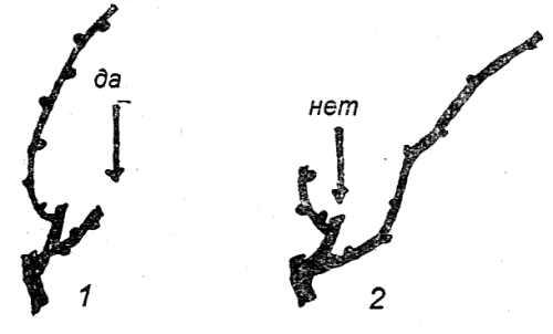 Взаиморасположение сучка замещения и плодовой стрелки при обрезке винограда