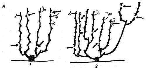 Обрезка веерной бесштамбовой формировки винограда